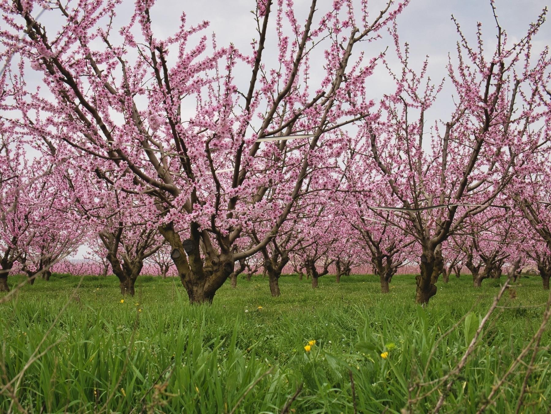 Peach orchard Aitona