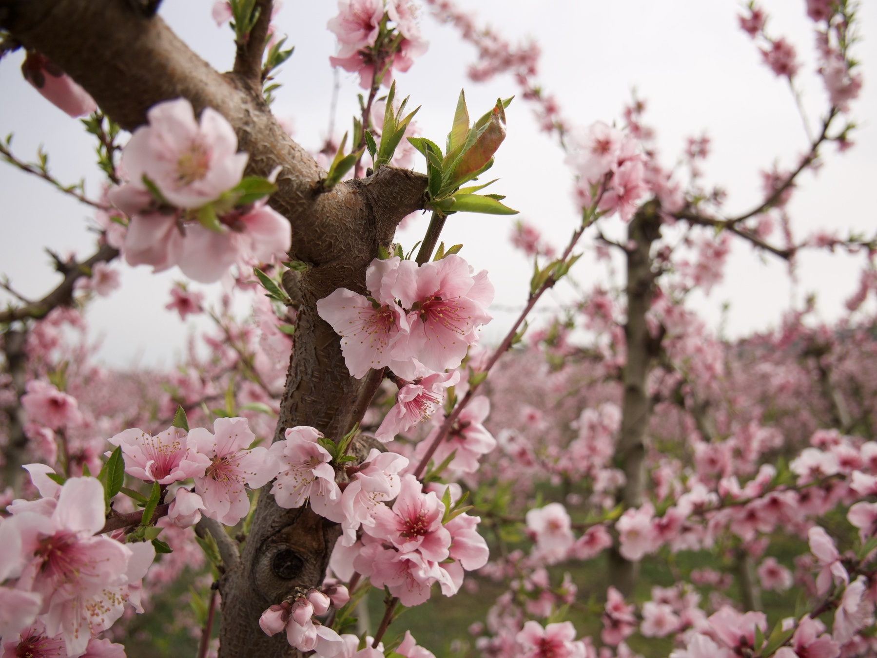 Blossom in Aitona
